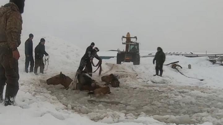 В Башкирии фермеры спасли провалившихся под лёд табун лошадей, а один из них снял это на видео