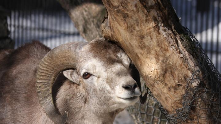 Олени и козлы из Новосибирского зоопарка неожиданно стали стройными