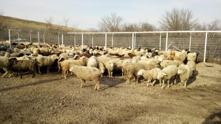 Донские пограничники пресекли контрабанду баранов с Украины