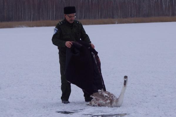 Лебедя завернули в теплое одеяло