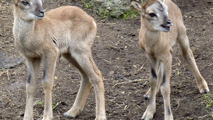 В Большереченском зоопарке родились краснокнижные уриалы