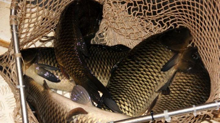 В Башкирии грабители выудили из пруда рыбхоза 10 кило карасей