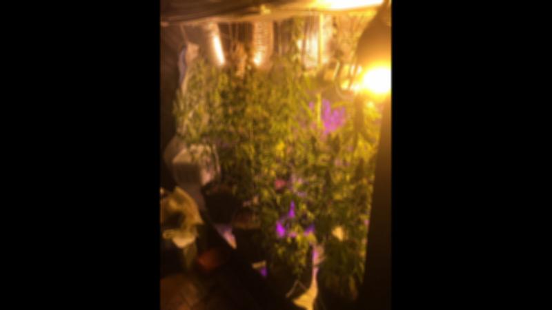Кусты конопли нашли в квартире, где была организована целая лаборатория по выращиванию растений