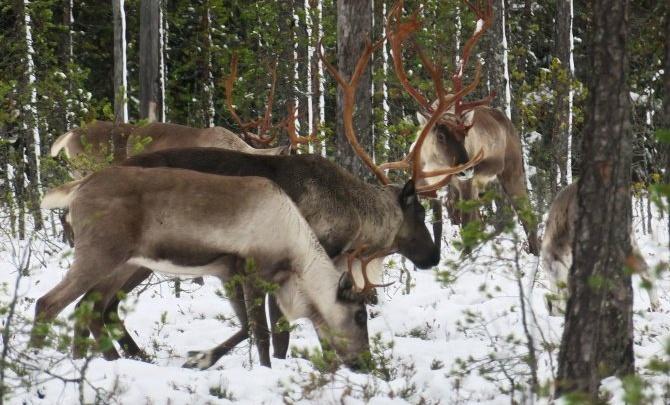 За «красноборской группировкой» диких оленей начали наблюдать ученые с помощью фотоловушек