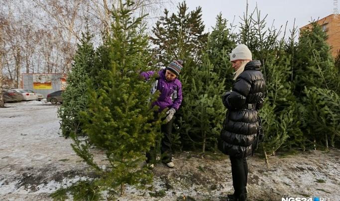 Предприимчивые жители трех районов вырубили 3,5 тысячи елок и пихт ради наживы к Новому году