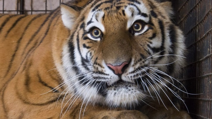 Ждем котят: лучшей парой Самарского зоопарка признали тигров Кактуса и Кассандру