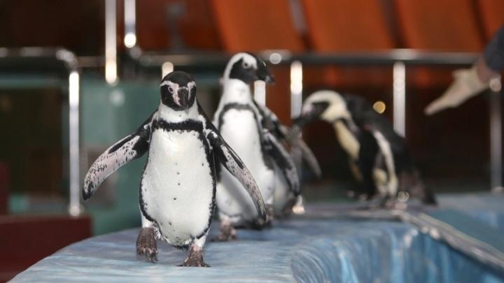 В Ярославль приедут пингвины с трюком из Книги рекордов Гиннесса