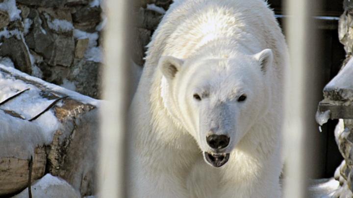 Плавает в бассейне, ест с аппетитом: в зоопарке рассказали, как белый медведь Ростик живёт в Китае