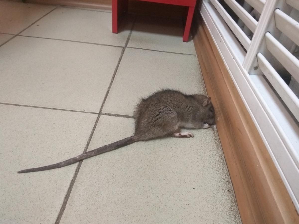 Мыши бегают по коридору и не боятся людей