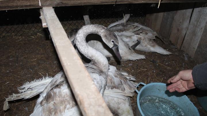 «Прячутся в домик, если в поле зрения человек»: спасённые лебеди обосновались на страусиной ферме