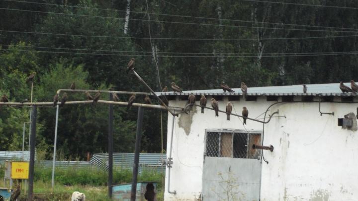 200 голодных хищников: Новосибирск атаковали стаи коршунов