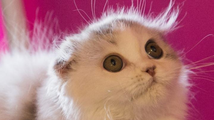 Новосибирцы признались в желании завести котика на работе