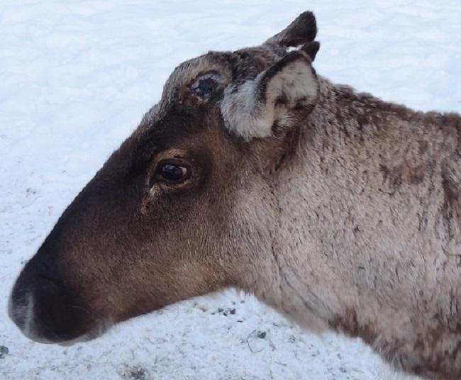 Олень Захар сбросил рога в начале января