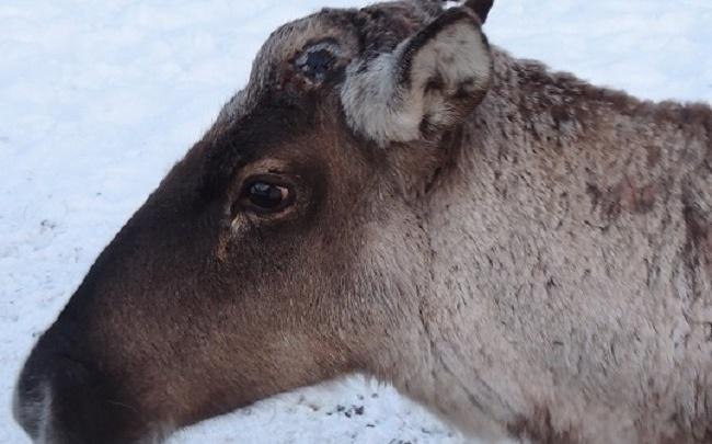 Рога на вешалку. Нижегородские северные олени готовятся к весне
