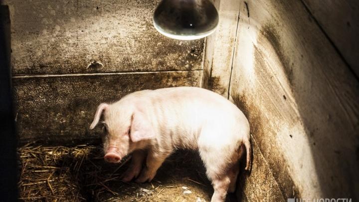 В Новосибирскую область пришёл вирус африканской чумы свиней