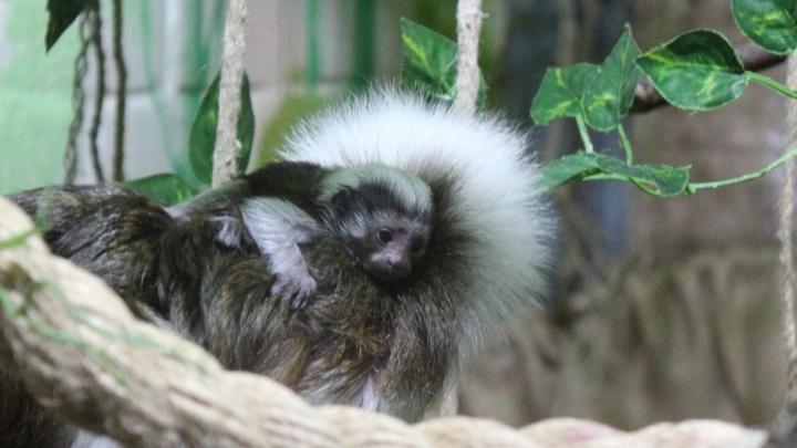Очаровательный малыш родился в «Роевом ручье» у обезьянки с причёской Эйнштейна