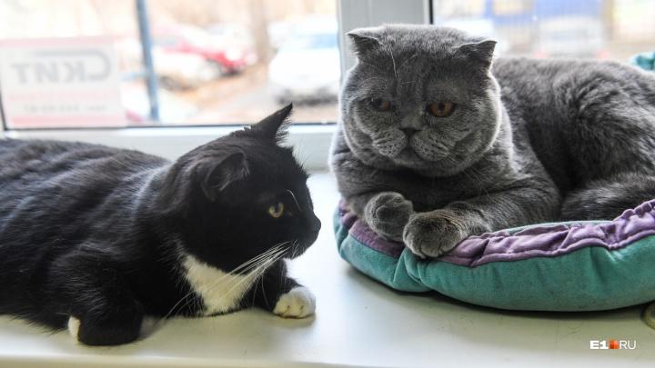 Чай с котом: как работает екатеринбургское кафе, где можно погладить котиков за деньги