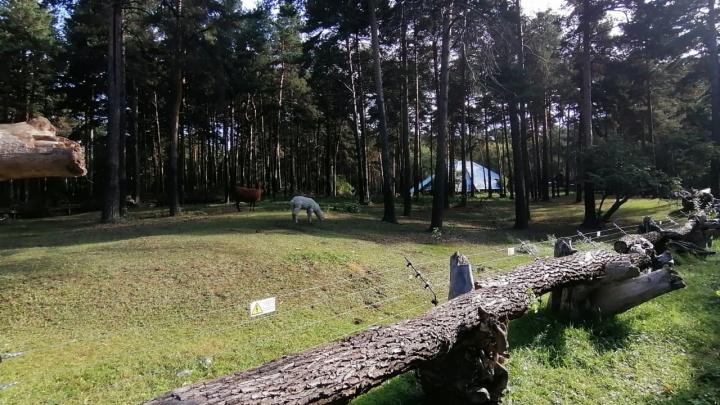 В новосибирском зоопарке решётки вольера для лам заменили брёвнами