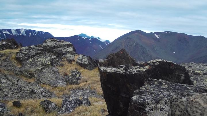 Снежные барсы впервые попали в фотоловушку на алтайском плато Укок