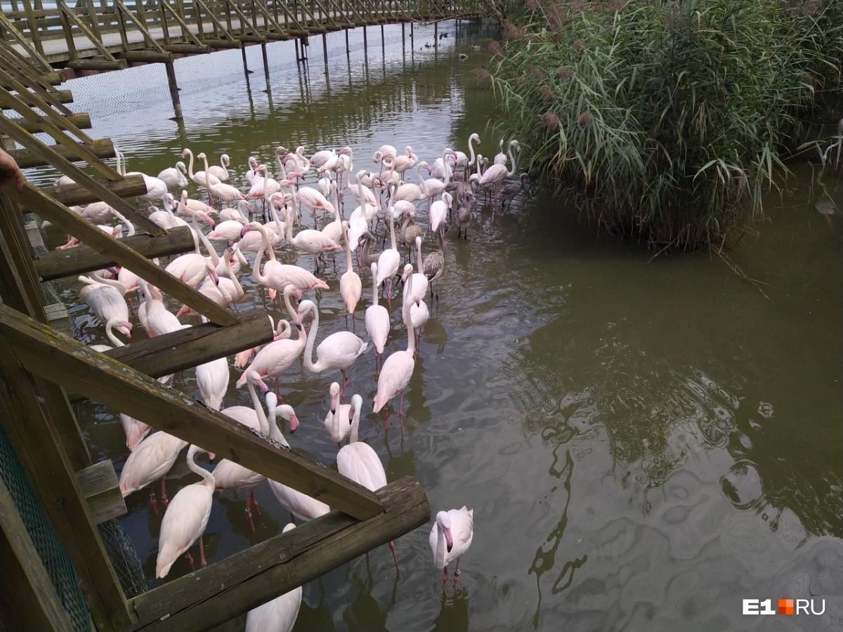 А еще здесь большая популяция фламинго