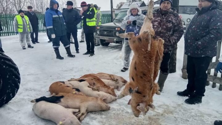 В одном из районов Самарской области уничтожили всех свиней из-за вспышки африканской чумы