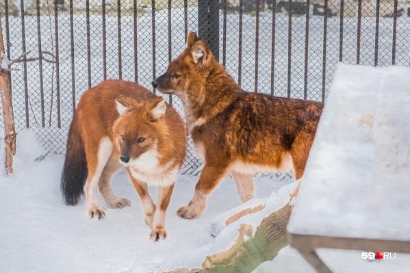 Животные в зоопарке ведут зимой активный образ жизни и много играют