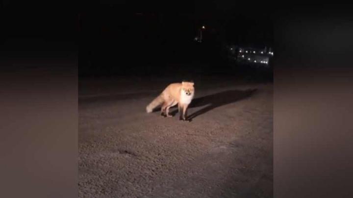 Лису с пушистым хвостом заметили на дороге у «Бобрового лога» и накормили водители