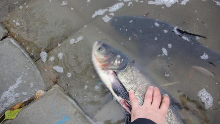 В мэрии Уфы прокомментировали ситуацию с гибелью рыбы в озере Солдатском
