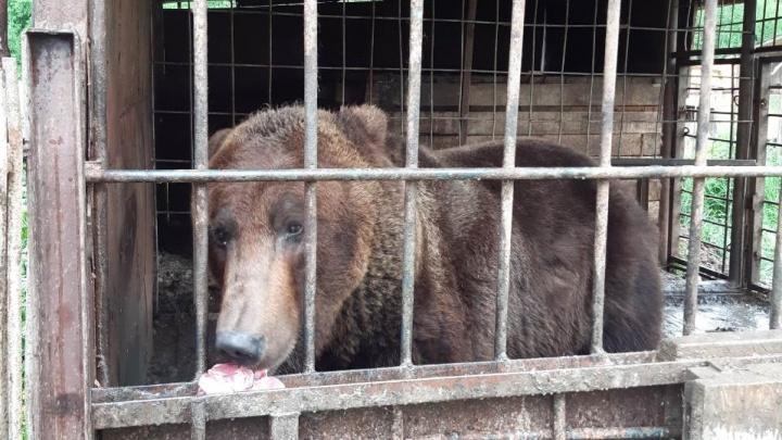 «Будем решать вопрос передачи в зоопарк»: чиновники проверили медведя, живущего в Прикамье у кафе