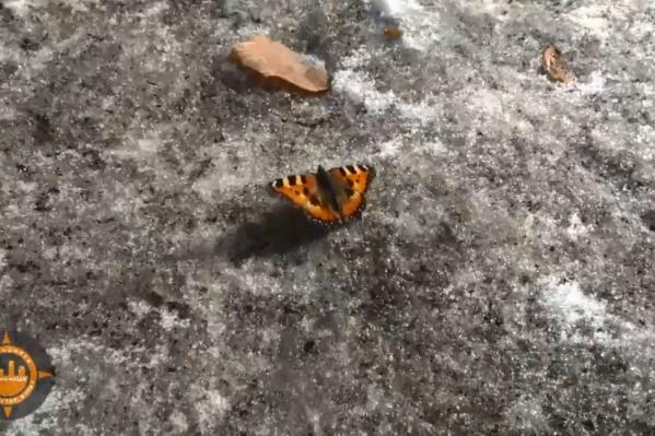 Красивая бабочка ползала по грязному снегу