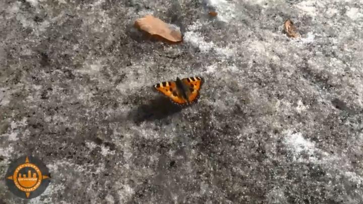 В «Солнечном» сняли проснувшуюся бабочку на снегу
