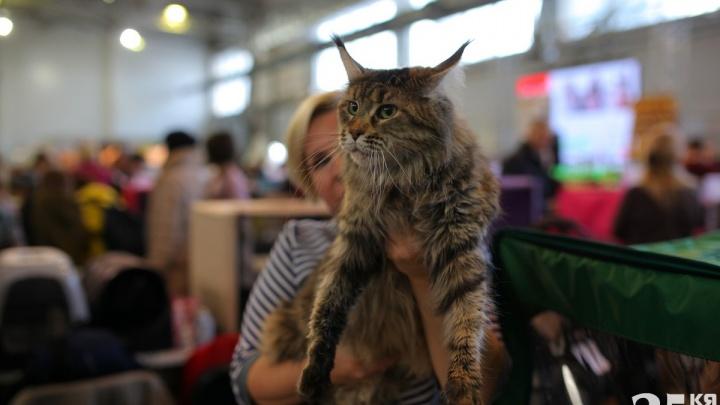 12 милых котиков с выставки, которые так и просят, чтобы их погладили