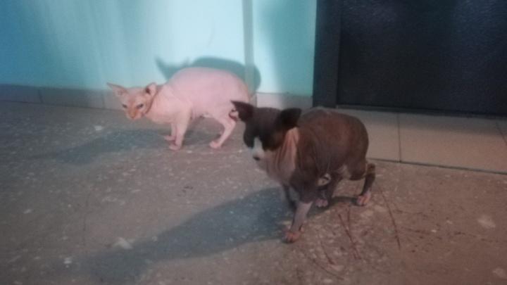Две лысые и нежные кошки 4 дня живут в подъезде и пугают соседей