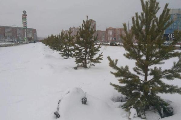 Ёлки высадили вдоль улицы Алексеева