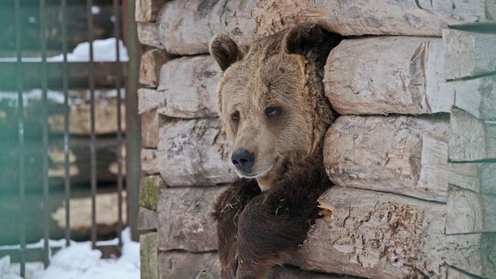 Не спится, няня: медведи уфимского вольера устали ждать морозов