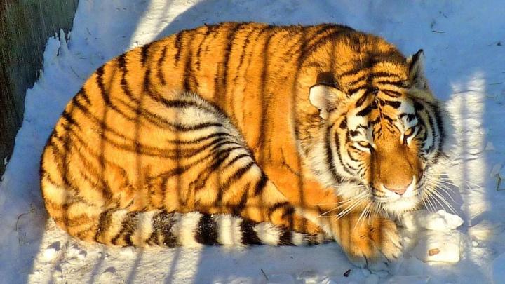 Амурская тигрица Таисия уехала из Новосибирска в Омскую область и нажила себе врагов