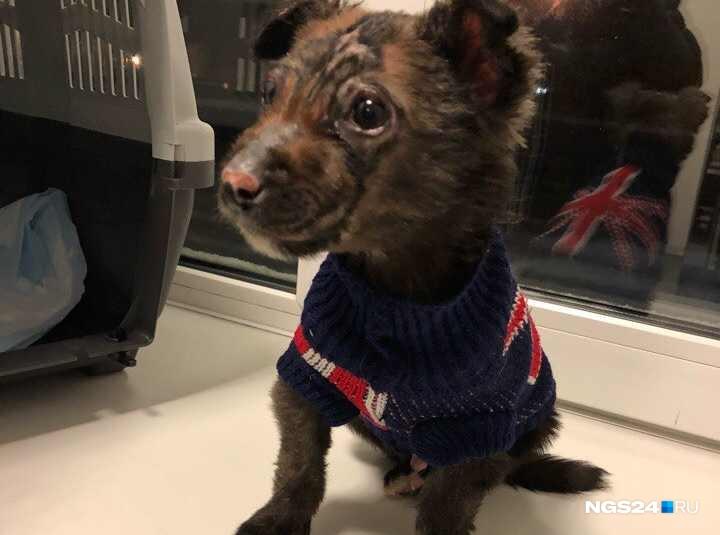 НаКубани семья приютила уцелевшего после зверств живодеров красноярского щенка