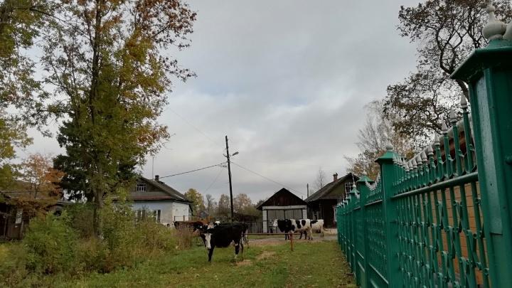 В Ярославской области 20 коров сбежали от хозяина и ушли гулять в город
