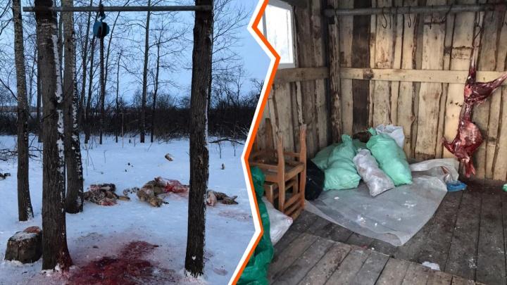 Браконьерство или законная охота: в Казанском районе выясняют, когда убили трех косуль