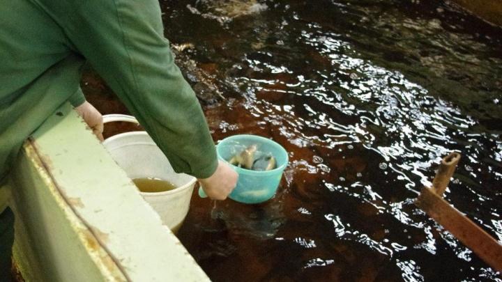 В День эколога АЦБК выпустил в реку Солза в добровольном порядке 2019 штук молоди семги