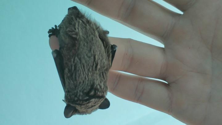 «Уборщица их шваброй гоняет»: летучие мыши заполонили дома ярославцев