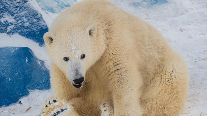 Белых медведей из «Роева ручья» накормили ледяным тортом из рыбы и фруктов в честь их праздника