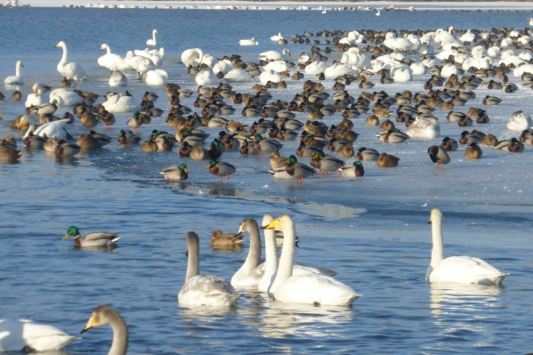 Лебеди-кликуны широко распространены в Новосибирской области