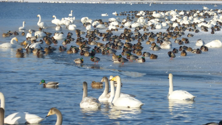 Над Новосибирском пронеслись стаи голосистых лебедей