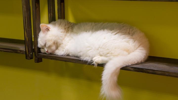 «У нас у самих дома пять кошек»: семейная пара открыла в центре Новосибирска новое котокафе
