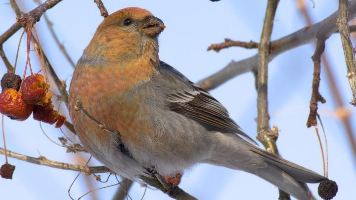 В Новосибирске заметили ярких птиц, поедающих ягоды