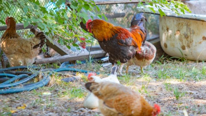 Опасная зона: на донской птицефабрике вспыхнул птичий грипп