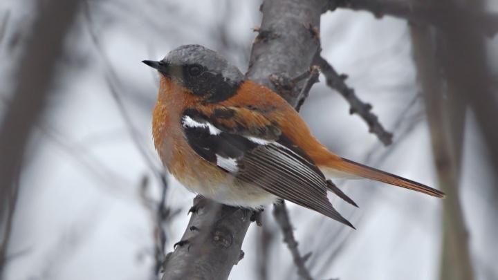 Снегопад задержал в красноярском заповеднике редких перелётных птиц