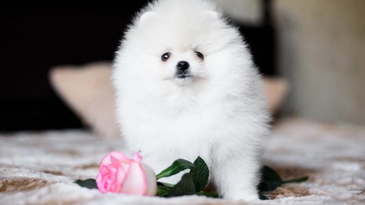 Бабосы за барбосов: топ самых дорогих собак Самары
