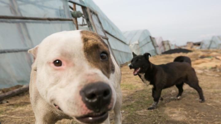 Свора агрессивных собак терроризирует жителей «Солнечного»